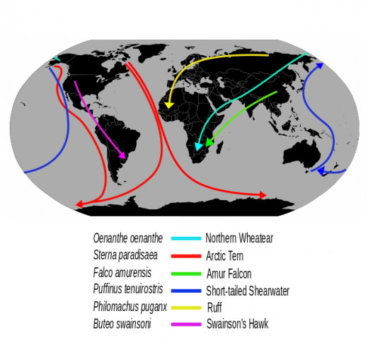 A map showing the migration routes of various species of bird, including the Arctic tern which travels from one end of the world of the other every year.
