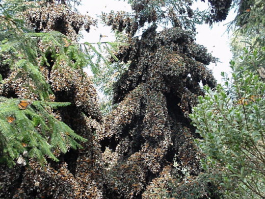 Suitable conditions for overwintering monarch butterflies occur only in a relatively small area in the state of Michoacann. The fir trees are festooned with the orange and black butterfles from November to March.