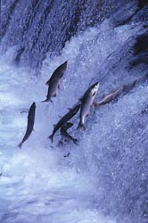 It's hard work returning to the spawning grounds. Salmon must jump up waterfalls and rapids, propelling themselves forwards against the flow of water with their strong muscles and flicking tails.