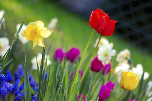 Tulips, daffodils and other spring bulbs take centerstage in the Spring Bulb Show at Hidden Gardens.