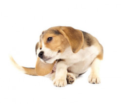 Home Remedies to Get rid of Dog Fleas