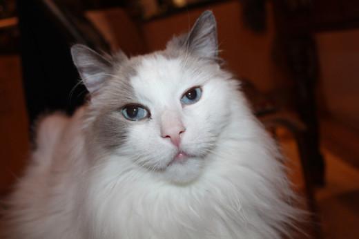 Fuzzy at age 13 (blue bi-colour Ragdoll)