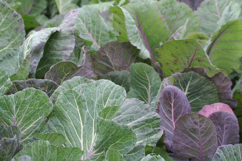 The Purple and Green Leaves of Kale