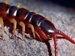 Centipede's jaws and antennas