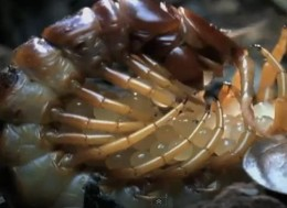 Centipede protecting its eggs