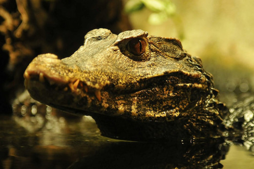 See you later, alligator, or in a while, crocodile? Can you tell the difference? (CC BY 2.0)