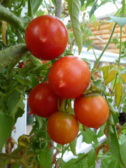 Grow an endless supply of these little Riesentraube tomatoes on indeterminate vines. Volunteer seedling tomatoes come up every year in the garden.