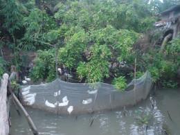 Mekong Delta pictures: Duck Farm