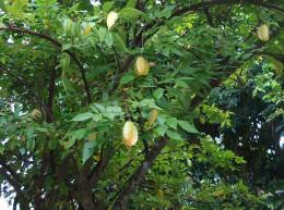 Mekong Delta pictures: Star Fruit
