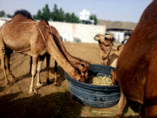 Milk's taste will vary according to the diet and the amount of water the camel had drunk.