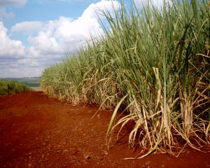 Sugar cane on a plantation.