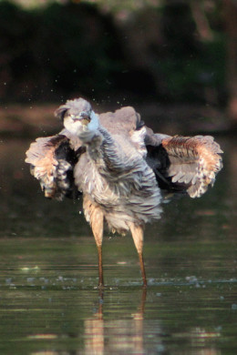 A Heron shaking off water after hunting: Photographer: Dave Hobbs