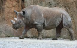 Black rhinoceros (Diceros bicornis) at the Saint, Image by: Jonathunder