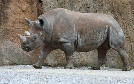 Black rhinoceros (Diceros bicornis) at the Saint, Image by: Jonathunder