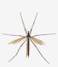 Crane Flies: Harmless Bugs with a Bad Rap