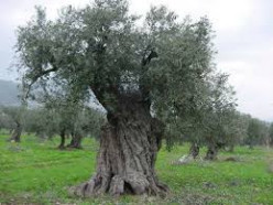 Olive Oil: History, Production, Classification, Detecting Alterations, and Canning