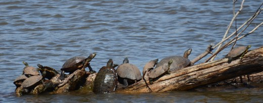 A pile of painted turtles