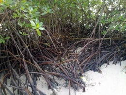 Mangroves' Intricate trunks and roots give many advantages.