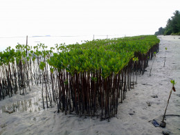 Planting  mangroves for shore, land and human welfare.