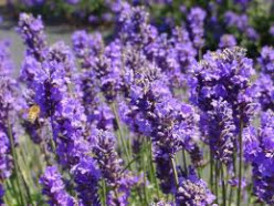 Lovely Lavender Oil Uses & Benefits