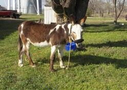 Tips For Tack For My Texas Donkey