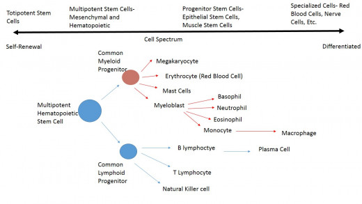 Blood Stem Cells as an example of the Cell spectrum in terms of specialization.