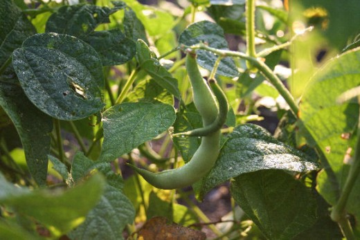 Organic green beans growing in my garden.