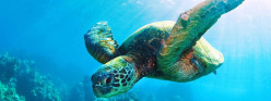 Marine Turtles: Listed as Endangered due to habit loss, hunting, trade, accidental fisherman capture and pollution