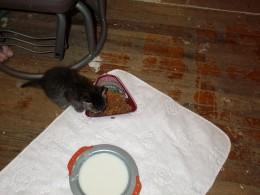 Baby Kitten Rori eating food on a lap pad