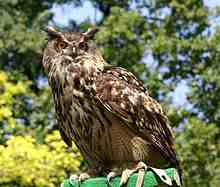 eagle Owl, world's largest owl
