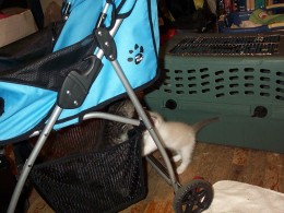 Kittens Rori and Knut playing in the stroller basket