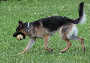German Shepherd playing.