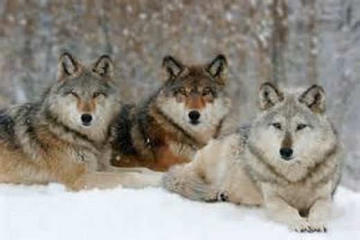 The communal wolf