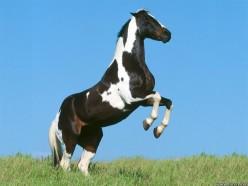 Paint Horse Information