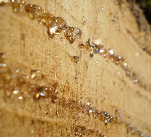 Resin on a fresh-cut tree