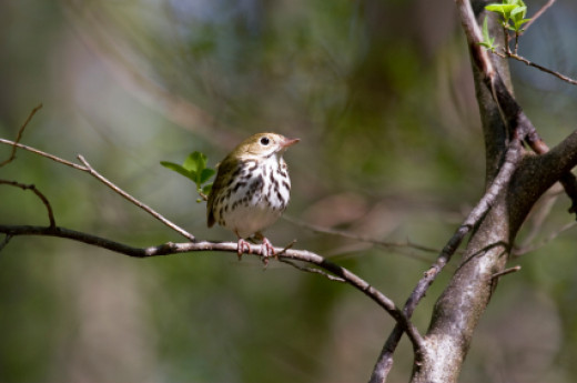 Ovenbirds return northward from the Caribbean, Mexico, Central and South America.