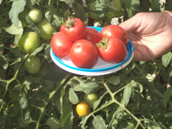Saving Tomato Seeds for Planting