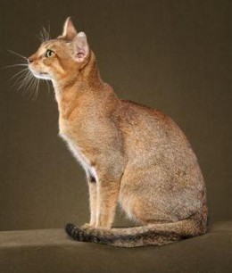A Chausie can reach 30 pounds!
