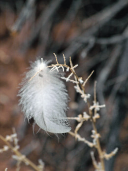 Downy feather from a Black-billed Magpie