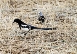 Black-billed Magpie out in the field
