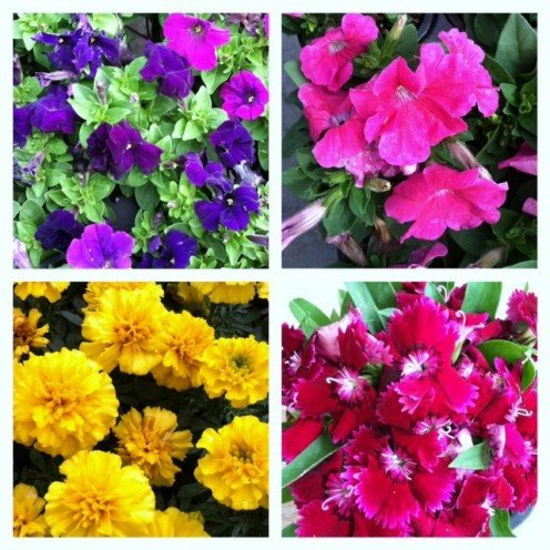 These are some of the annuals I planted in my garden this spring season.