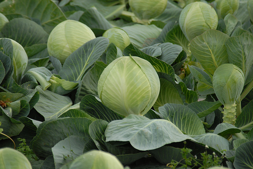 Green Cabbage Ready For Harvest