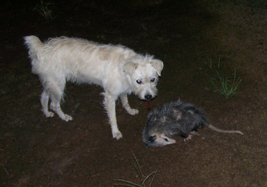 A Virginian opossum pretending to be dead at the foot of a wire-haired terrier.