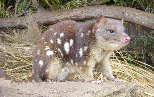 The tiger quoll is one of several species of marsupials that live similar lifestyles to cats.