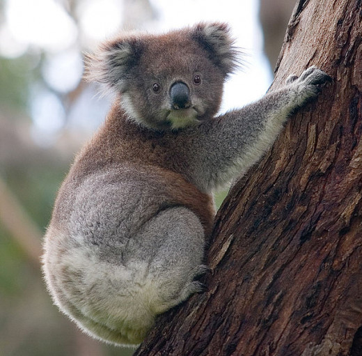 The koala's face is large and wide, like that of a bear, with a smooth black muzzle; the body is compact and thick set. The fur is soft, long, and mainly grey to grey-brown, with slightly paler underparts, and mottling on the rump.
