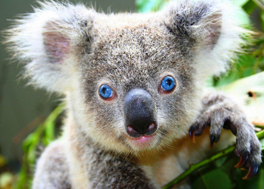 A close up of the first blue-eyed koala ever to be born in captivity.