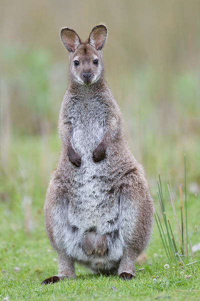 A small number of red-necked wallabies live wild in the Peak District, England. They were introduced from Australia in the early 20th century.