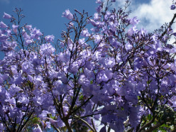Tropical Beauty: The Jacaranda Tree