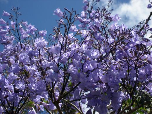 Flowers of the Jacaranda Tree, Auckland, New Zealand