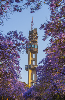 Jacaranda trees in Pretoria which covers Pretoria in a purple blanket during October, hence the name- Jacaranda city